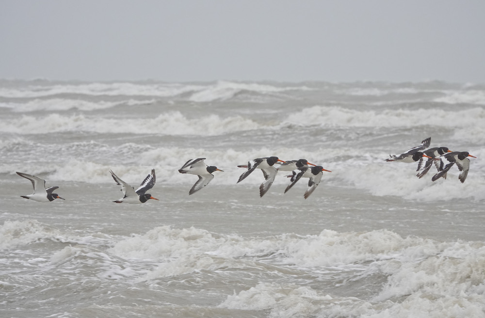 Oystercatchers at Rye Harbour