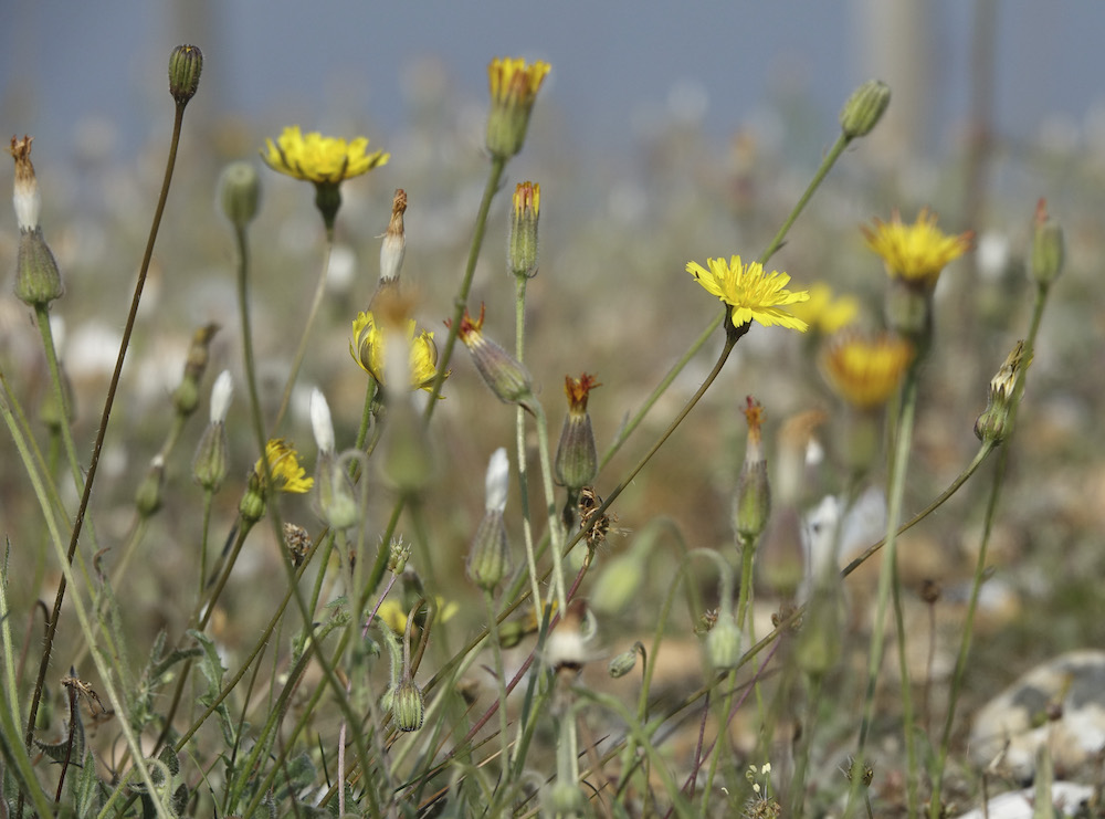 Stinking hawksbeard at Rye Harbour
