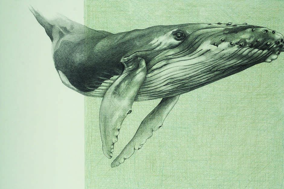 pencil drawing of a humpback whale
