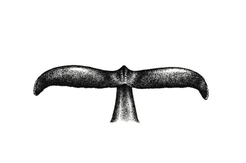 drawing of a whale's tail